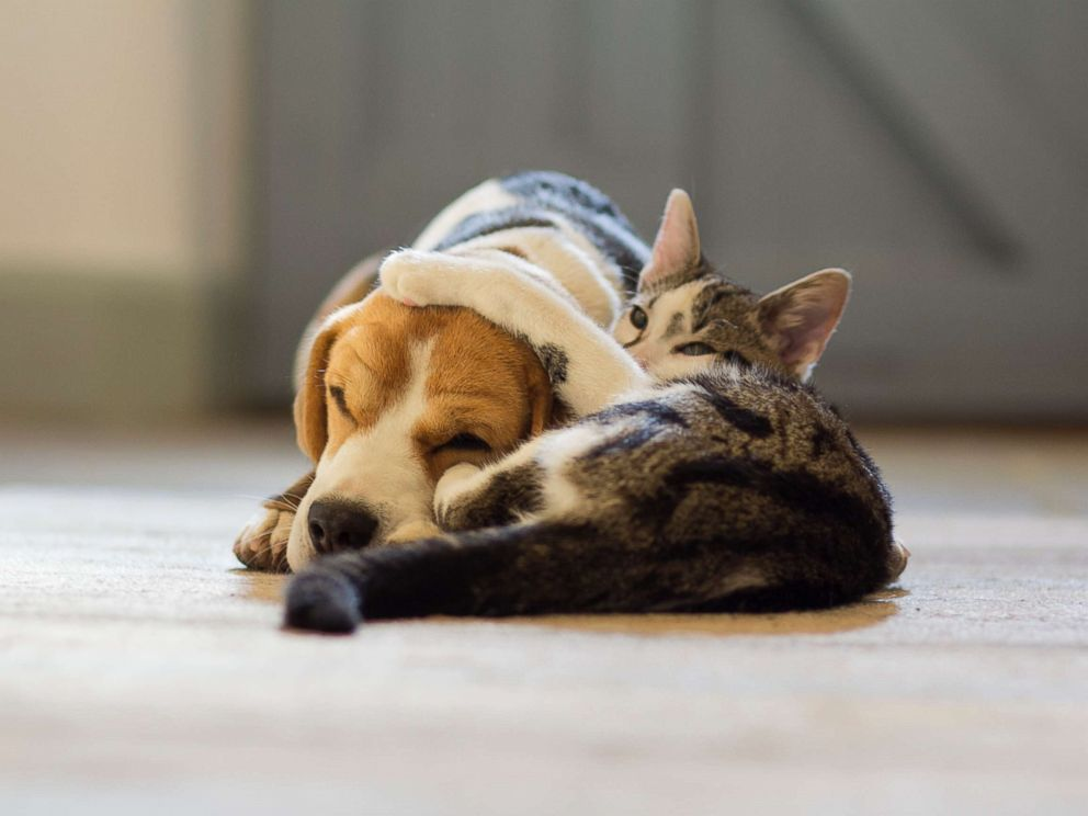 PHOTO: A Beagle dog and a moggy cat cuddle up to each other in this undated photo.
