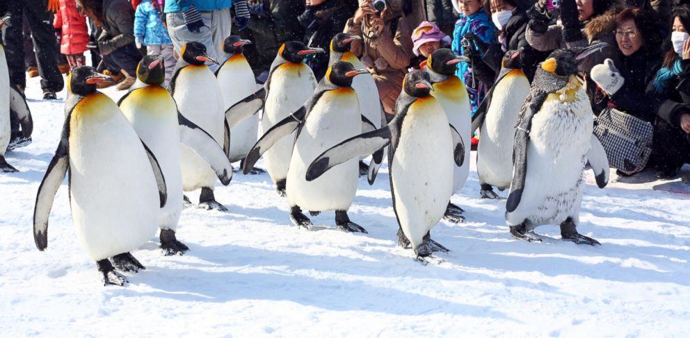 PHOTO: Crowds of people watch the hugely popular Penguin Walk at Asahiyama Zoo in Asahikawa, Japan.