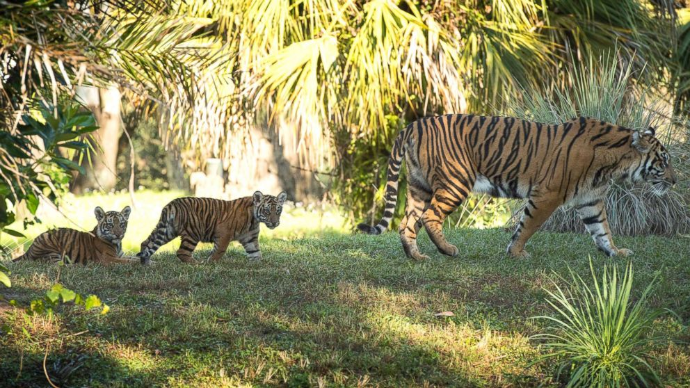Sohni is followed by Jeda and Anala at Walt Disney World's Animal Kingdom in Florida.