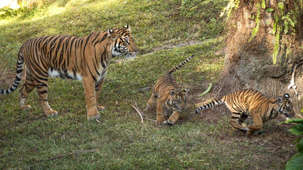 Sohni watches as Jeda and Anala play at Walt Disney World's Animal Kingdom in Florida.