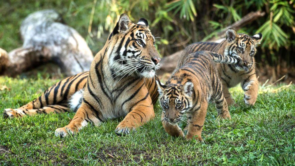 Jeda and Anala are the first tigers ever born at Walt Disney World's Animal Kingdom.