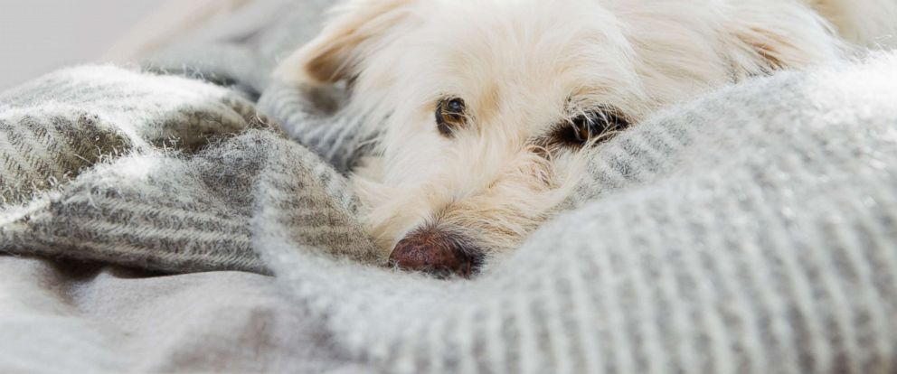 can dogs get human flu