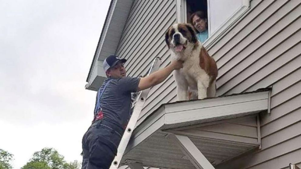 Firefighters turn the tables on mischievous Saint Bernard rescued from rooftop