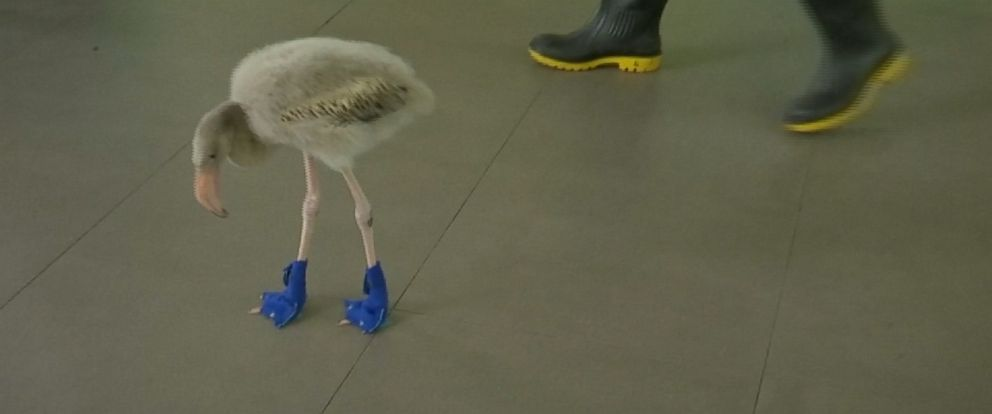 PHOTO: A baby flamingo took a stroll through the grounds of Singapores Jurong Bird Park today armed with a pair of booties to protect his feet.