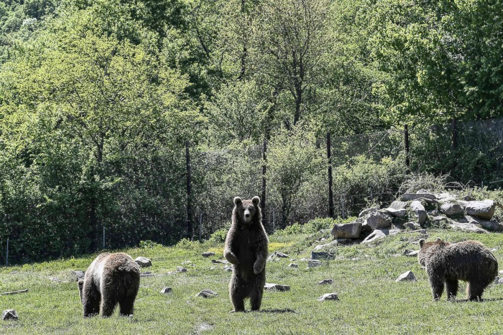 PHOTO: A bear stands at the Arcturos sanctuary in Nymfaio on the slopes of Mount Vitsi, northwest of Athens, April 23, 2018.