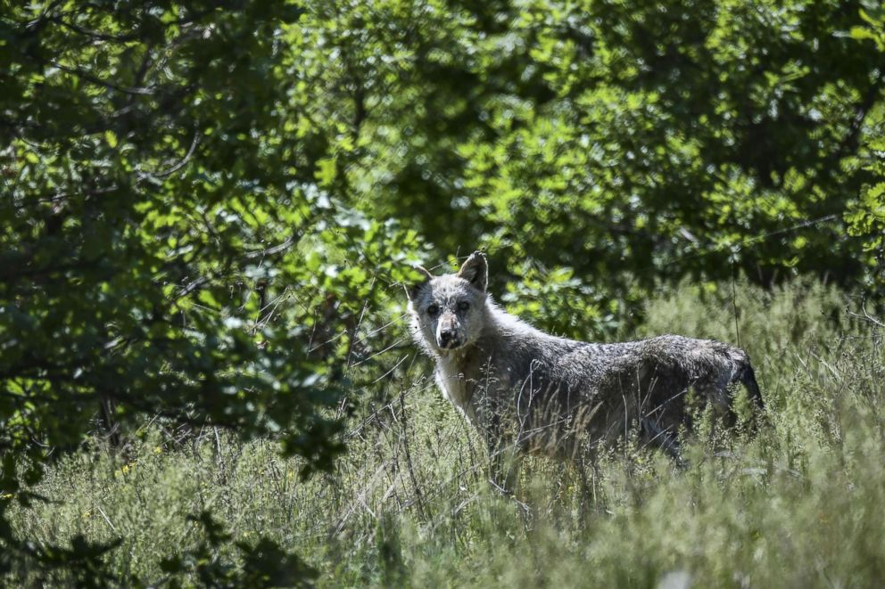 PHOTO: A wolf is seen at the Arcturos sanctuary in Nymfaio on the slopes of Mount Vitsi northwest of Athens, April 23, 2018.