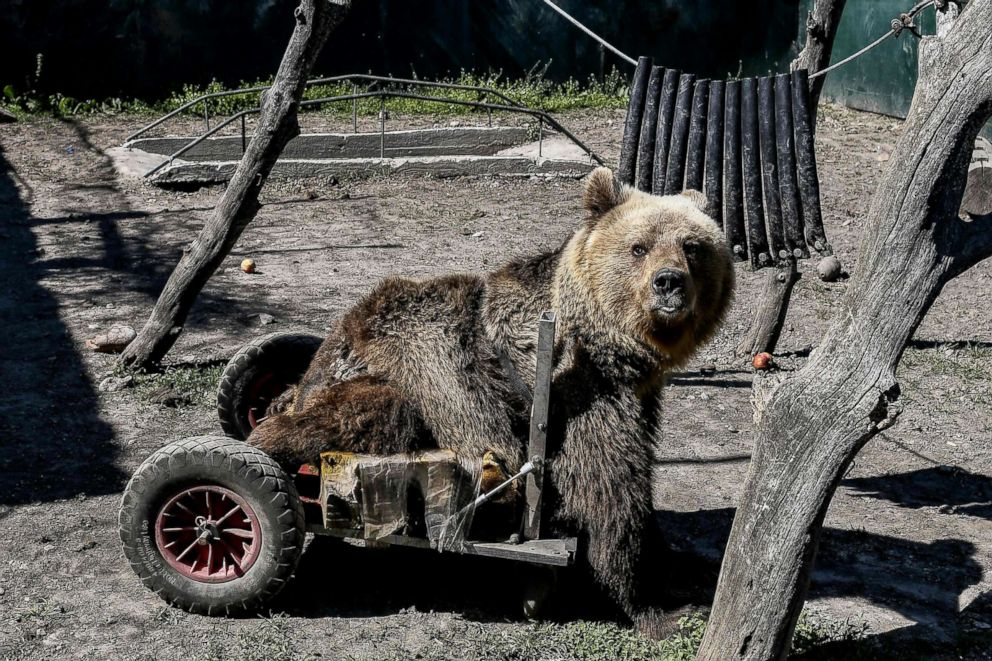 PHOTO: A three-year-old paralyzed bear called Usko is seen at the Arcturos sanctuary in Nymfaio on the slopes of Mount Vitsi, northwest of Athens, April 23, 2018.