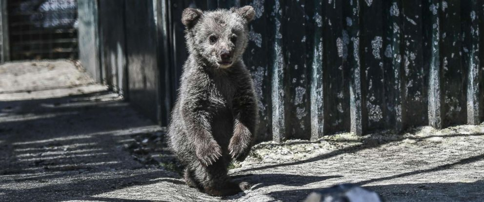 PHOTO: A bear cub named Luigi stands in the Arcturos sanctuary at Nymfaio on the slopes of Mount Vitsi, northwest of Athens, April 23, 2018.
