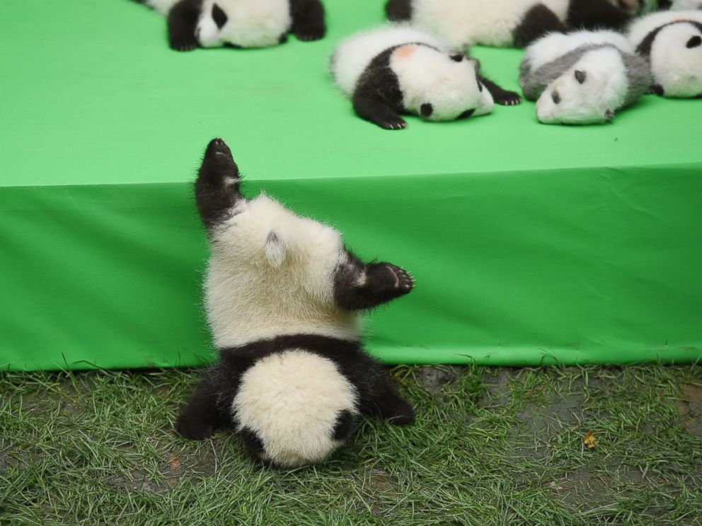 Silly Baby Panda Falls Flat on Its Face During Public ...