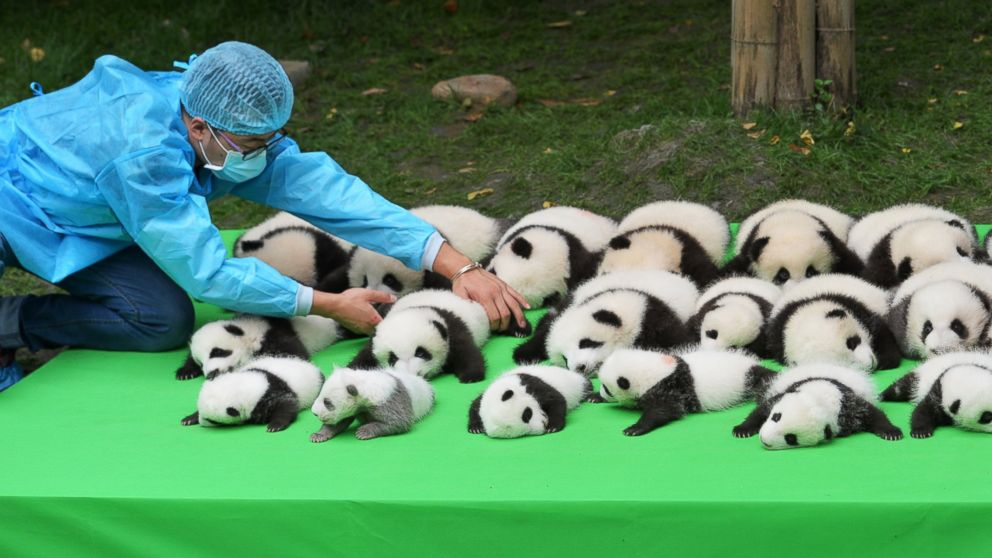 The 23 giant panda cubs born in 2016 at the Chengdu Research Base of Giant Panda Breeding make their debut to the public on Sept. 29, 2016 in Chengdu, China.