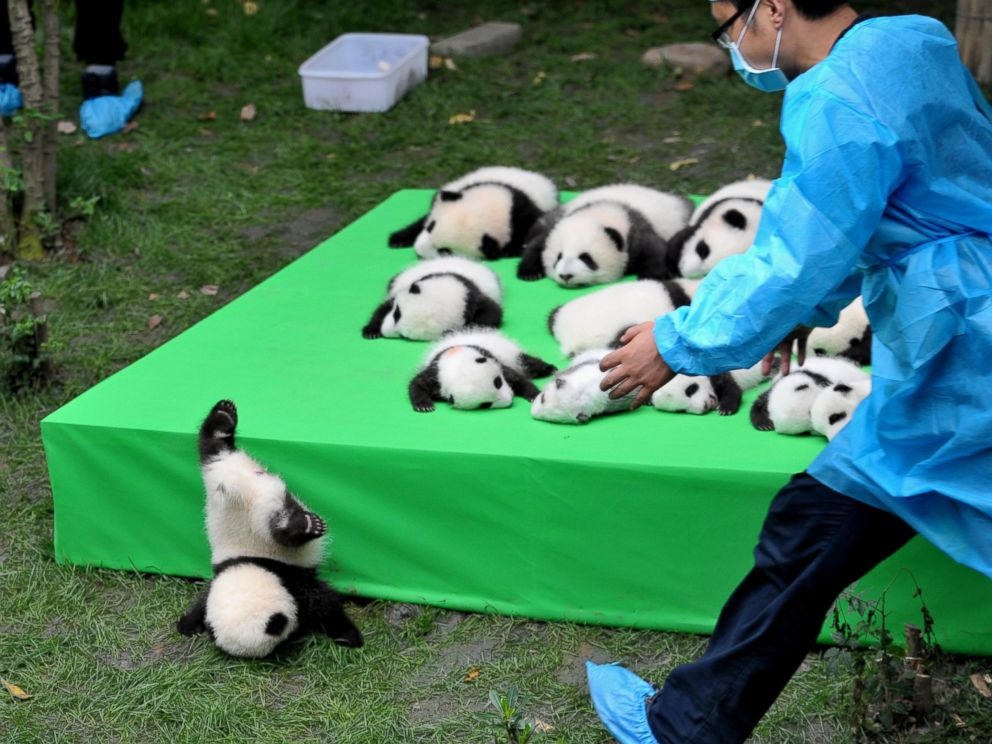 PHOTO: The 23 giant panda cubs born in 2016 at the Chengdu Research Base of Giant Panda Breeding make their debut to the public on Sept. 29, 2016 in Chengdu, China.