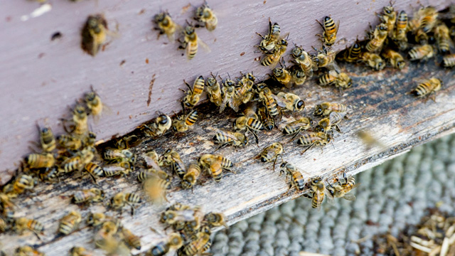 PHOTO:A beehive in Elmwood Ontario is shown. David Schuit owns Saugeen Country Honey and has noticed the deaths of many of his bees. He believes it is because the Neonicotinoid type of insecticides that is used on corn all around his bee yards.