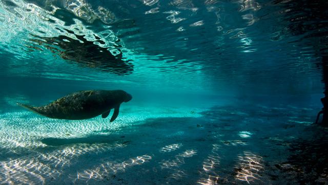PHOTO:A Florida manatee swims to a fresh water spring, Crystal River, Florida.