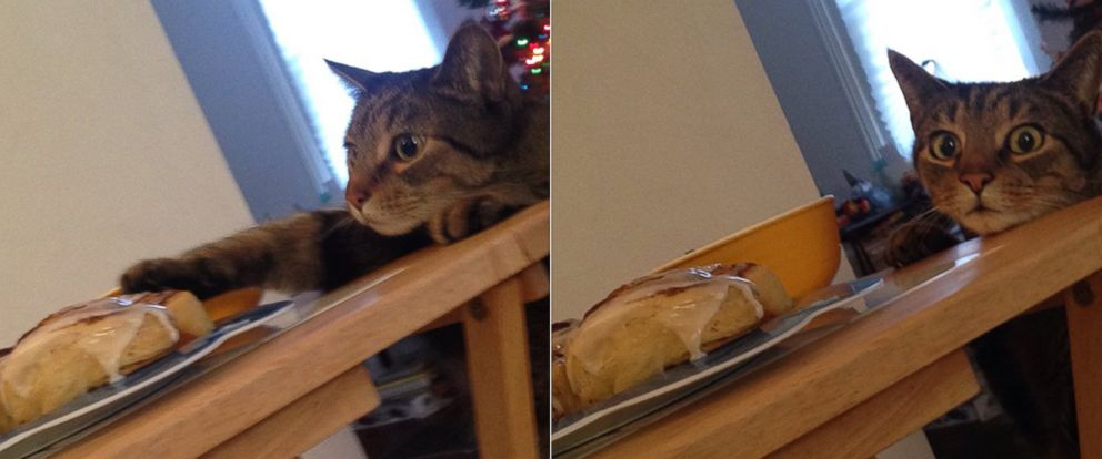 """PHOTO: Sophia Lidner caught her family cat Percy red handed while he was trying to sneak a cinnamon roll after she told him, """"No."""""""