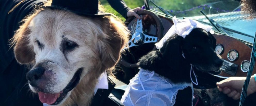 """PHOTO: Mr. Molson, a 12-year-old golden retriever with terminal cancer, """"married"""" a black Labrador named Josie, June 2, 2017, at York Township Park in York County, Pa."""