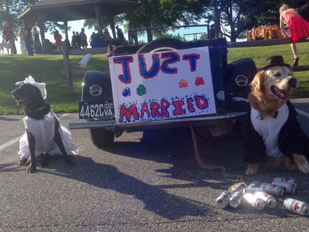 PHOTO: Mr. Molson, a 12-year-old golden retriever with terminal cancer, married a black Labrador named Josie, June 2, 2017, at York Township Park in York County, Pa.