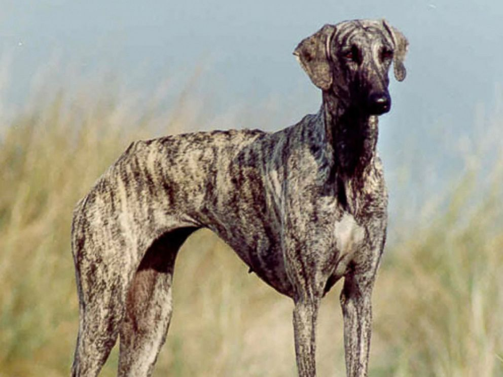 PHOTO: The new Westminster Kennel Club dog show eligible breed the Sloughi.