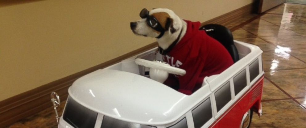 PHOTO: Sancho, a 10-year-old Jack Russell terrier, helps spread holiday cheer to patients at San Gabriel Valley Medical Center in California.
