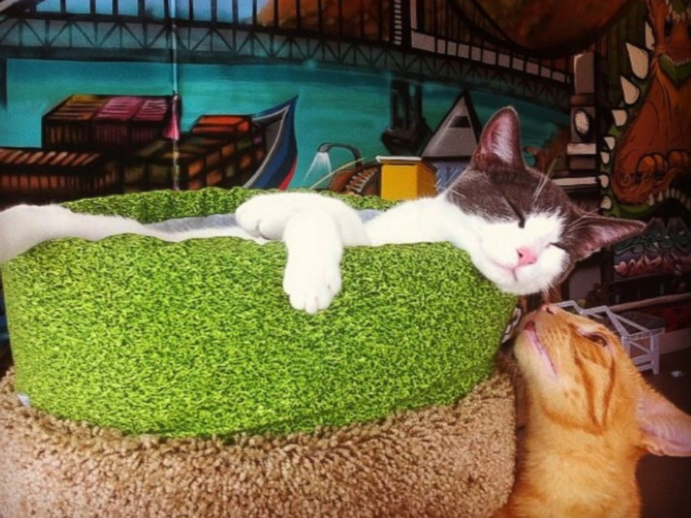 America S First Full Time Cat Cafe Now Open Abc News