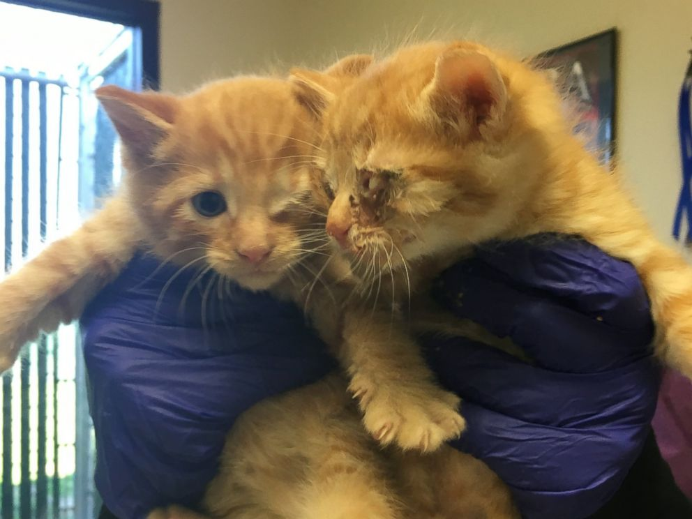 PHOTO: A Good Samaritan rescued two stray kittens suffering from eye injuries he found in his backyard to the Sacramento SCPA in late March of 2016, according to Sarah Varanini, a foster care coordinator at the shelter.