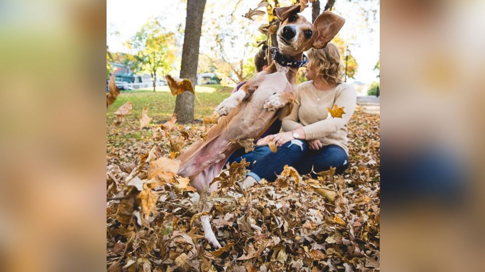 Louie the miniature dachshund was captured photobombing his owners, Megan Determan and Chris Kluthe, during their engagement photo session in St. Paul, Minn. on Oct. 13, 2015.
