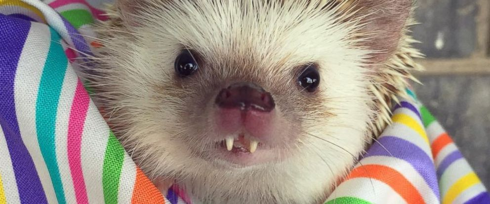 PHOTO: Huff the Hedgehog's Buck Teeth Are Guaranteed to Make You Smile