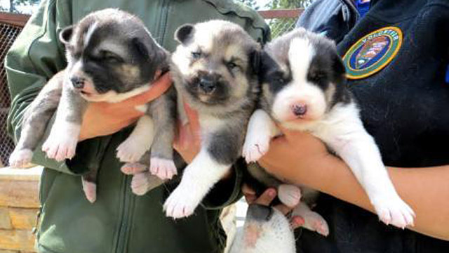 PHOTO: Huskie pups Munter, Prusik and Clove shown at Denali National Park and Preserve in Denali Park, Alaska.
