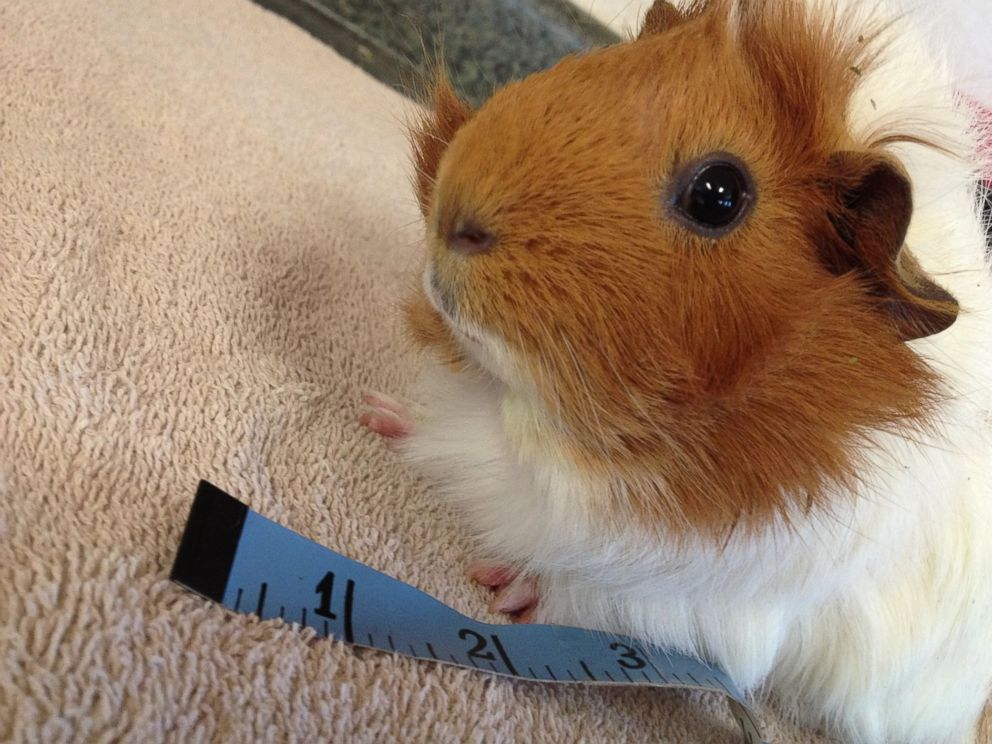 PHOTO: Estella the guinea pig is pictured here at Harvest Home Animal Sanctuary in Stockton, California.