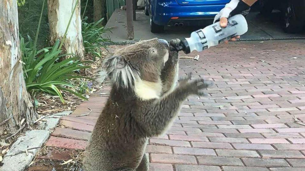Bilderesultat for koala australia thirsty