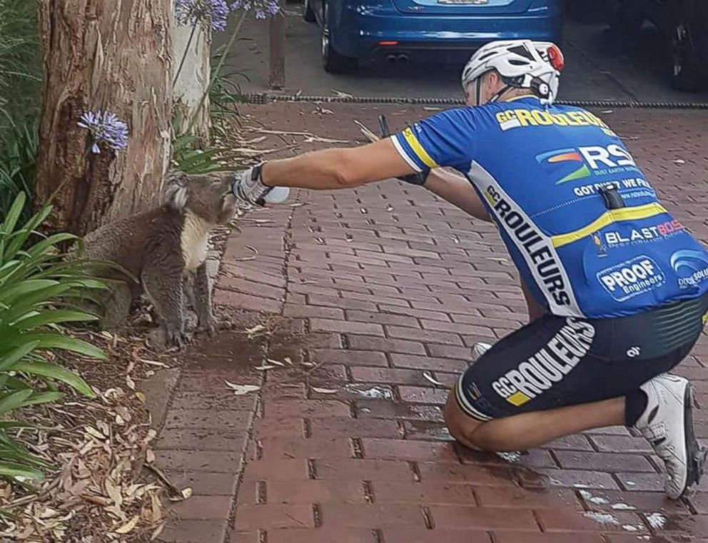 Thirsty Koala Drinks Entire Water Bottle From Generous Cyclist Abc