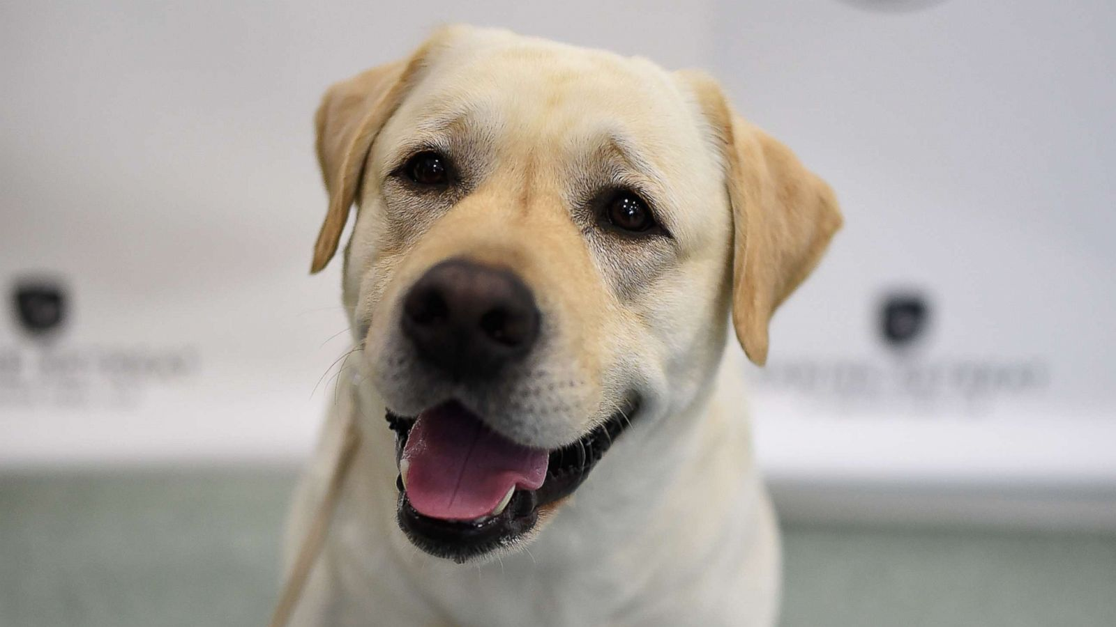 Labrador Retrievers Wag Their Tails As Most Popular Dog Breed Of