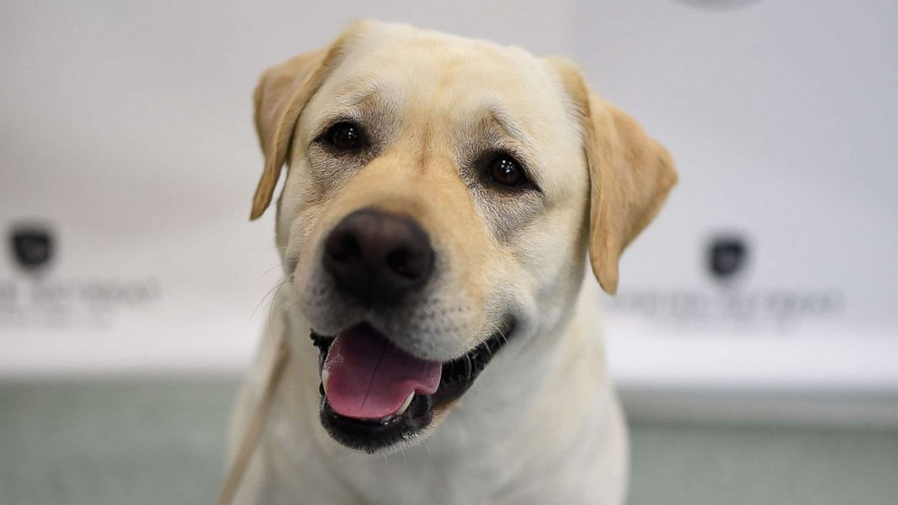 A Labrador Retriever, is shown at 'The American Kennel Club Reveals The Most Popular Dog Breeds Of 2016' at AKC Canine Retreat on March 21, 2017 in New York.