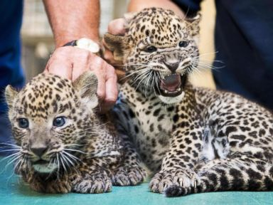 Leopard cubs get a check-up