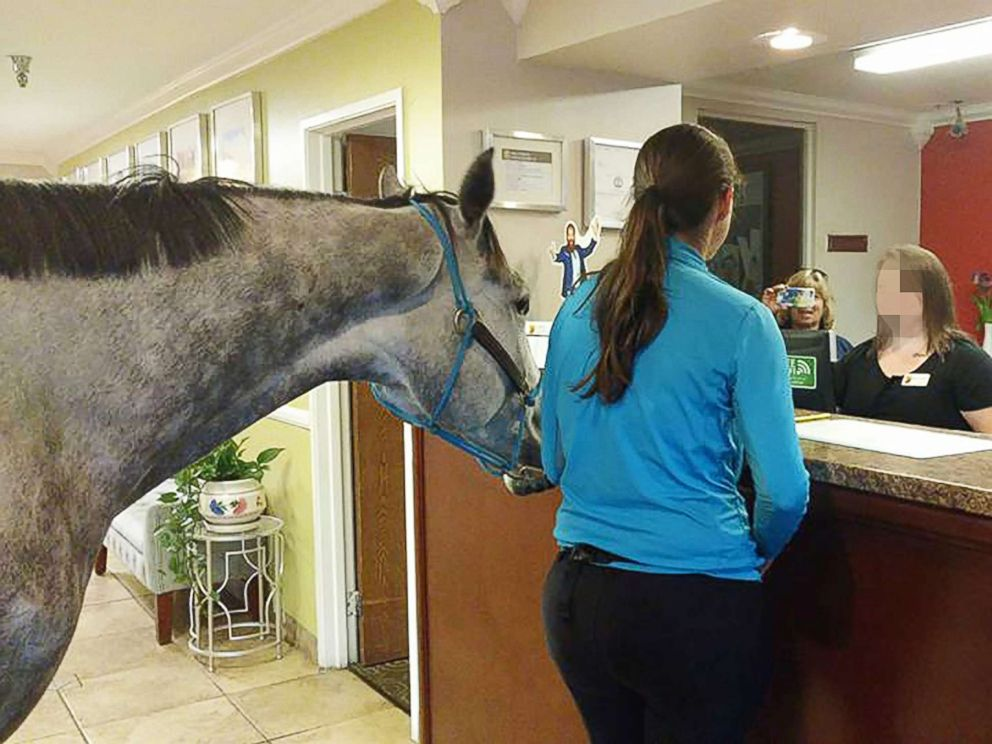 PHOTO: Lindsey Partridge, owner of Harmony Horsemanship, tested the pet policy at Supreme 8 in Georgetown, Ky, by bringing in her 5-year-old thoroughbred, Blizz.