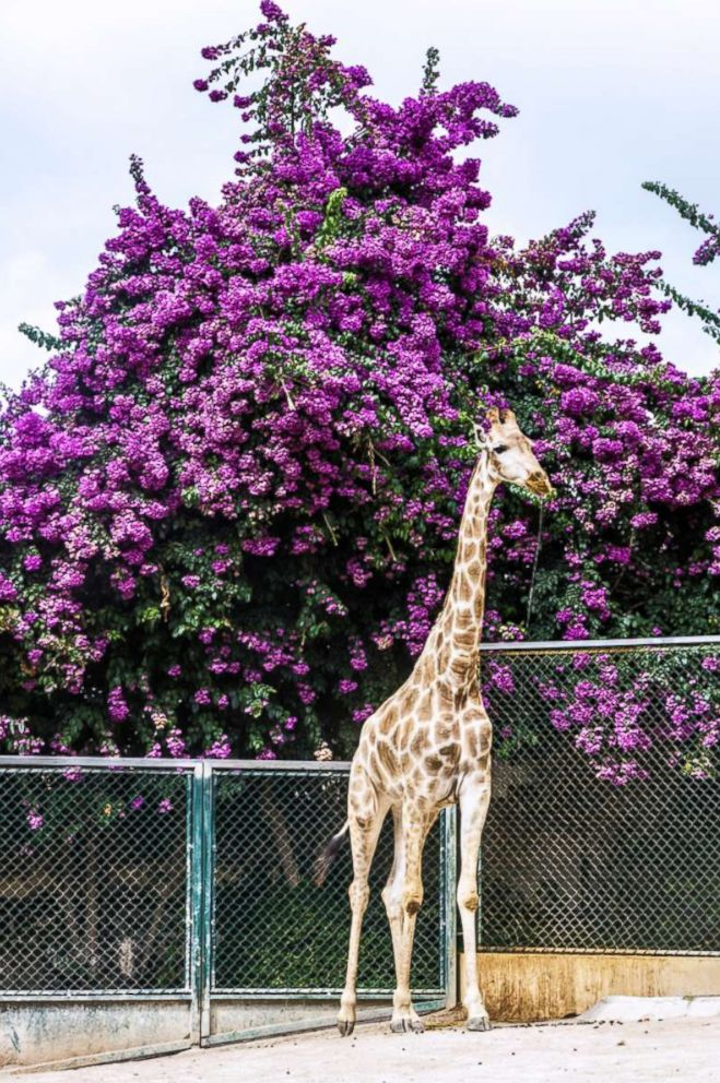 PHOTO: A giraffe is pictured at the Lisbon zoo in Lisbon, Portugal, this undated stock photo.