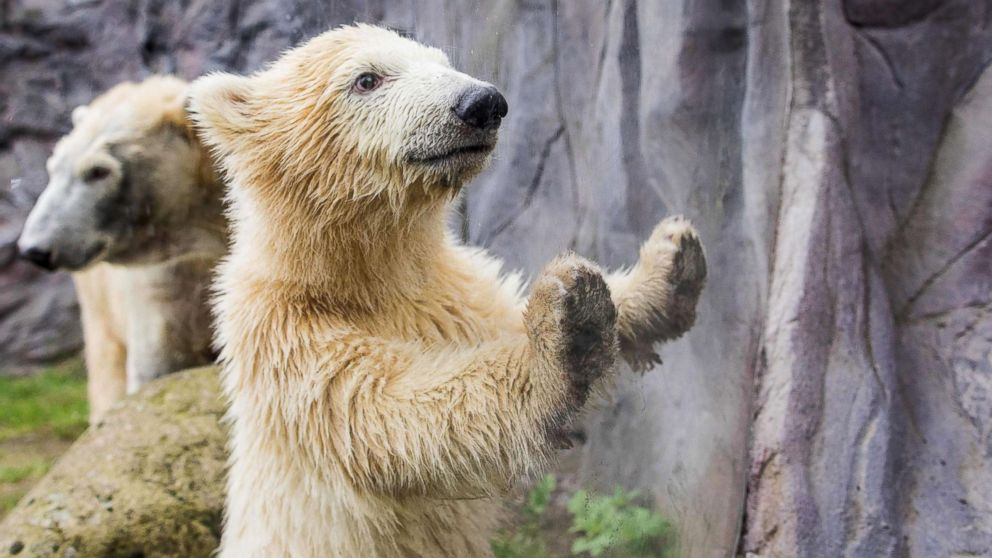 Polar bear cub Nanook looks through a window during her first open-air outing at the zoo in Gelsenkirchen, Germany, April 13, 2018.
