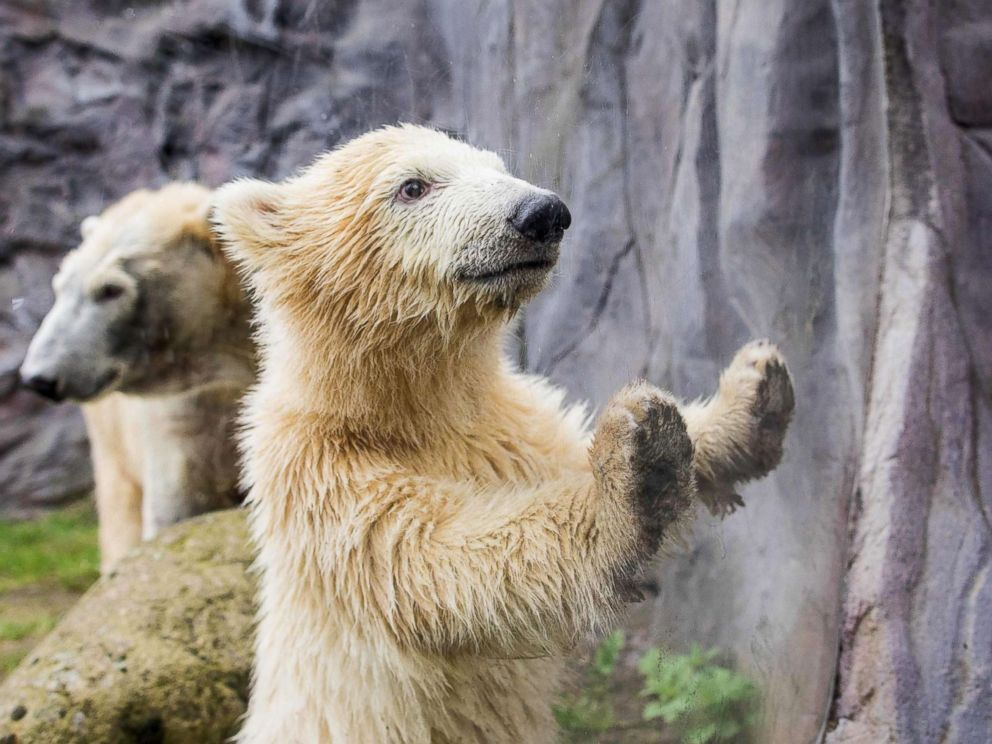 PHOTO: Polar bear cub Nanook looks through a window during her first open-air outing at the zoo in Gelsenkirchen, Germany, April 13, 2018.