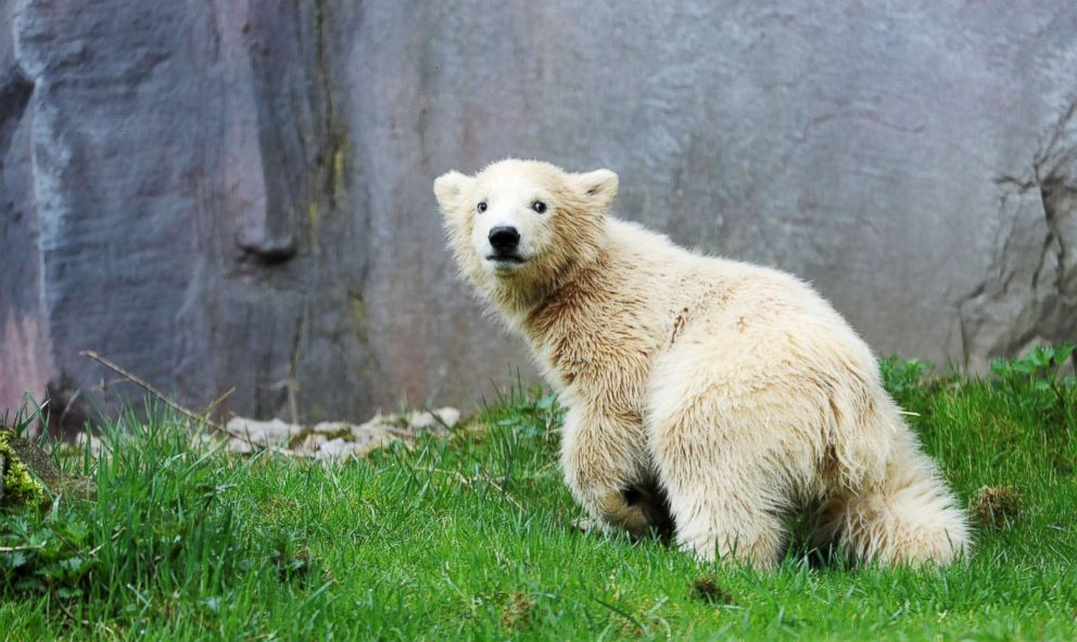 PHOTO: Polar bear cub Nanook explores her enclosure at the Zoom Erlebniswelt zoo in Gelsenkirchen, Germany, April 13, 2018.