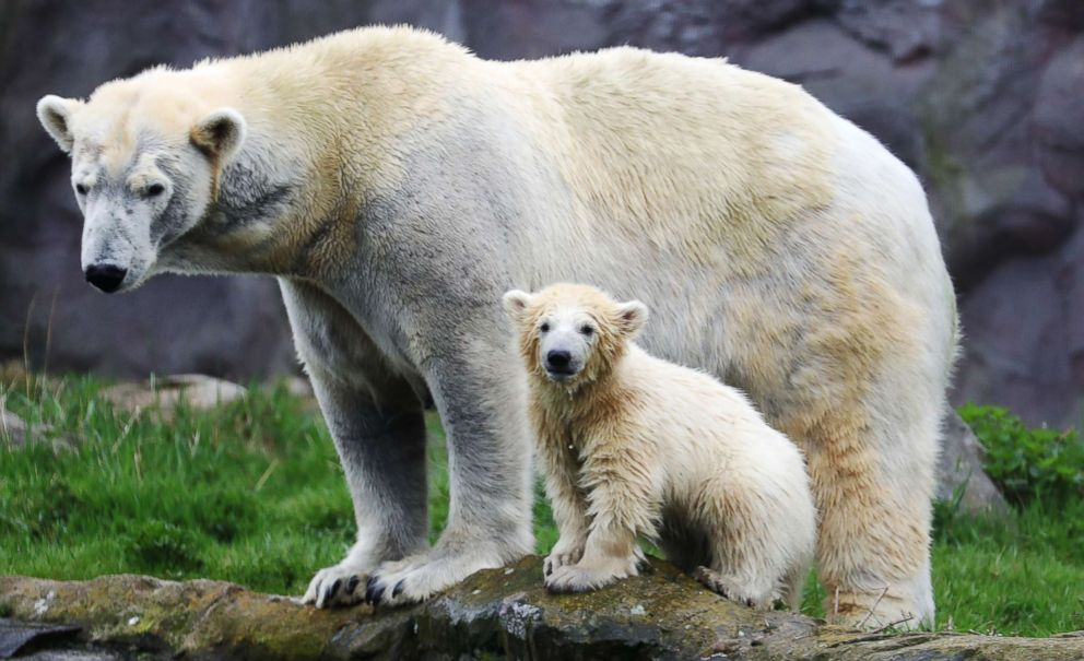 PHOTO: Polar bear cub Nanook and her mother Lara explore their enclosure at the Zoom Erlebniswelt zoo in Gelsenkirchen, Germany, April 13, 2018.