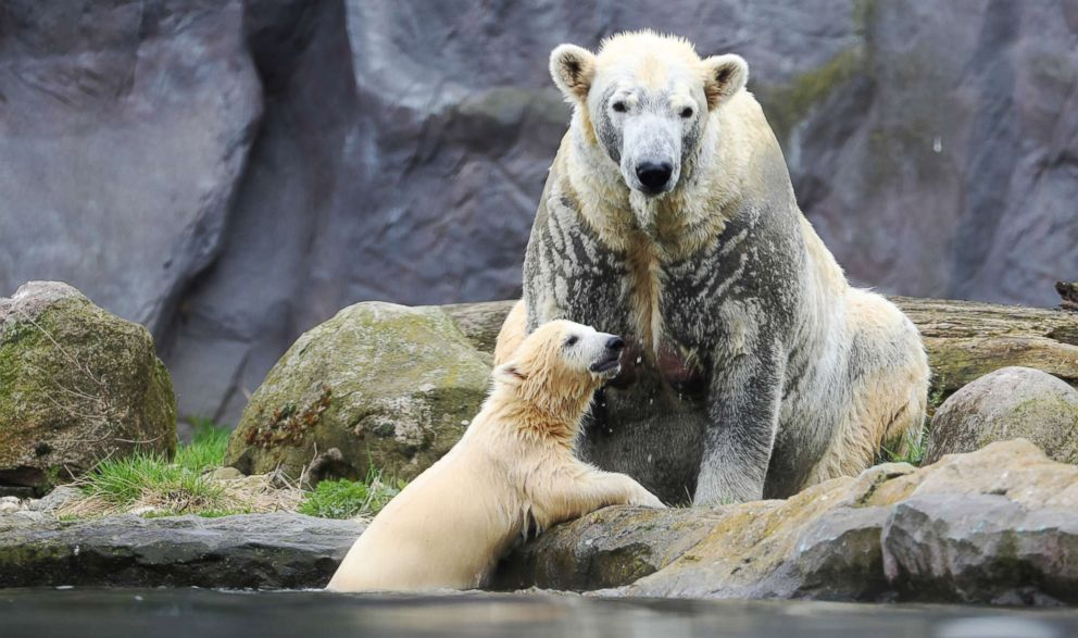 PHOTO: Polar bear cub Nanook and her mother Lara swim in their enclosure at the Zoom Erlebniswelt zoo in Gelsenkirchen, Germany, April 13, 2018.
