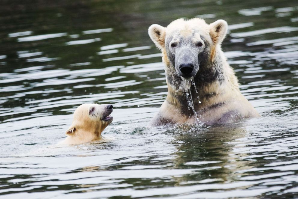 PHOTO: Polar bear cub Nanook and her mother Lara swim in their pool in their enclosure at the Zoom Erlebniswelt zoo in Gelsenkirchen, Germany, April 13, 2018.