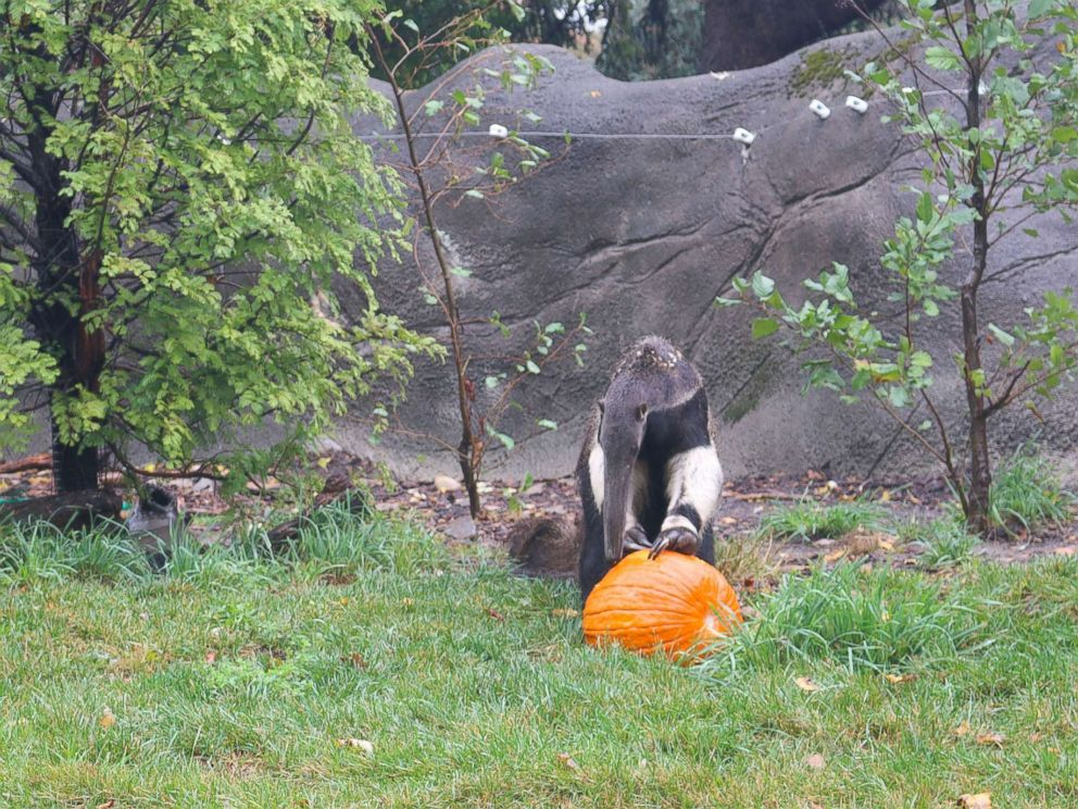 PHOTO: An anteater enjoys Halloween seasonal treats at the Detroit Zoo on Oct. 11, 2017.