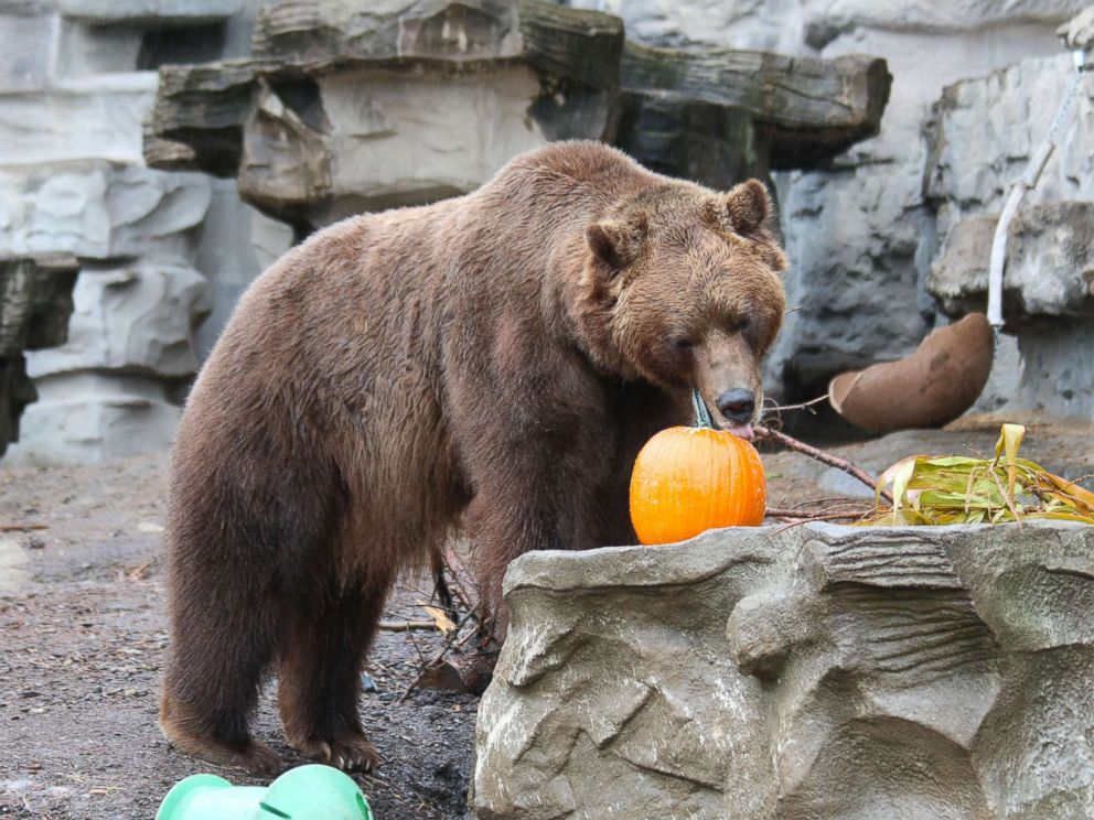 PHOTO: A grizzly bear enjoys Halloween seasonal treats at the Detroit Zoo on Oct. 11, 2017.
