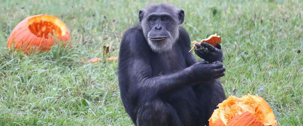 PHOTO: A chimpanzee enjoys Halloween seasonal treats at the Detroit Zoo on Oct. 11, 2017.