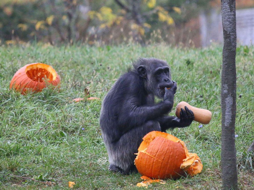 PHOTO: A chimpanzee enjoys Halloween seasonal treats at the Detroit Zoo on Oct. 11, 2017.