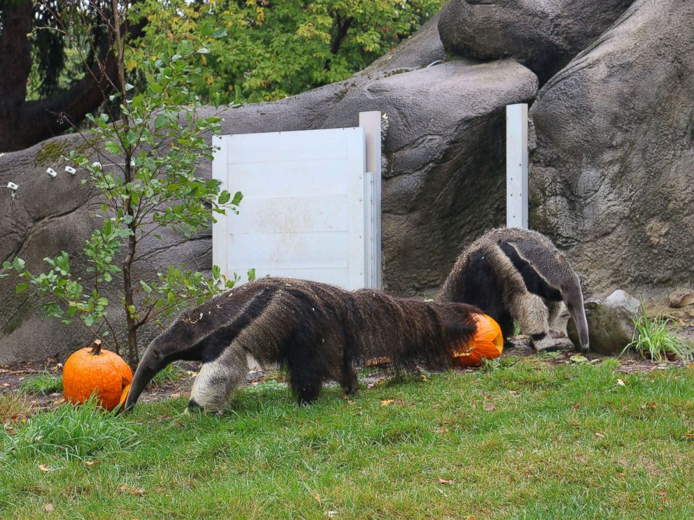 PHOTO: Anteaters enjoys Halloween seasonal treats at the Detroit Zoo on Oct. 11, 2017.