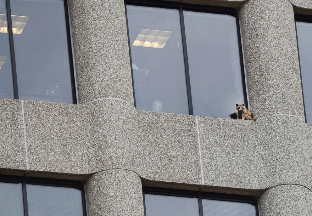 PHOTO: A raccoon sits on the ledge of an office window in the UBS Tower in downtown St. Paul, Minn., June 12, 2018.