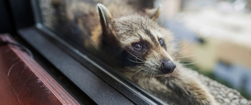 PHOTO: A raccoon stretches out on a windowsill in St. Paul, Minn., June 12, 2018. The raccoon stranded on the ledge of a building in St. Paul captivated onlookers and generated interest on social media after it started scaling an office building.