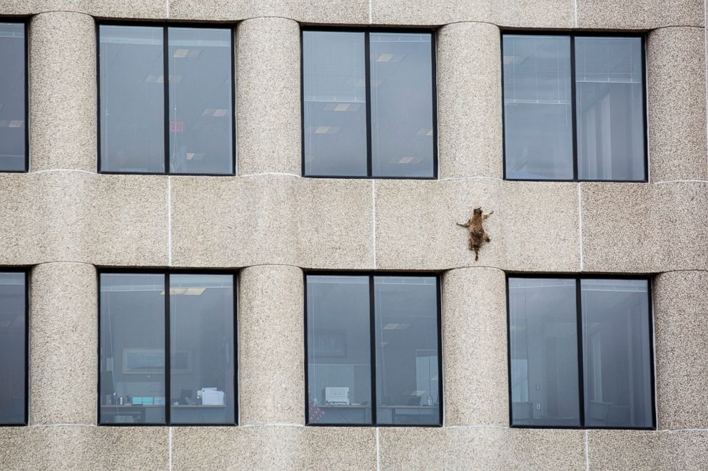 PHOTO: A raccoon scurries up the side of the UBS Tower in St. Paul, Minn., June 12, 2018.