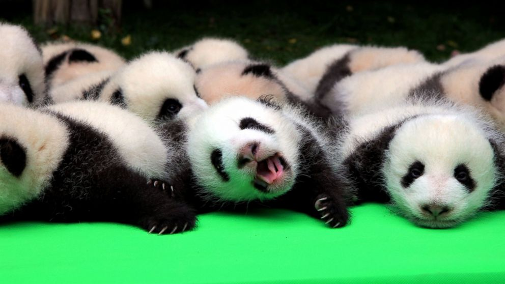 About 23 giant pandas born in 2016 are seen on a display at the Chengdu Research Base of Giant Panda Breeding in Chengdu, Sichuan province, China, Sept. 29, 2016.